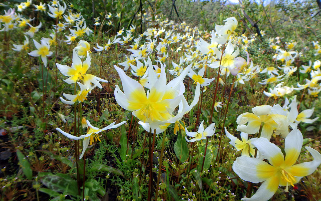 Rare St. Helena fawn lilies usher in spring on Land Trust preserve