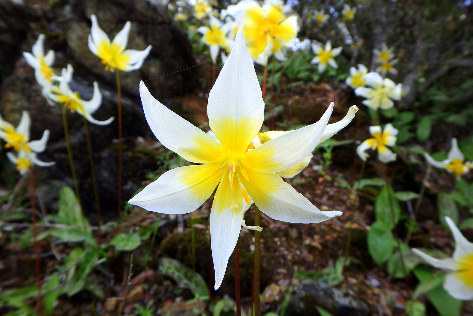St. Helena Fawn Lily