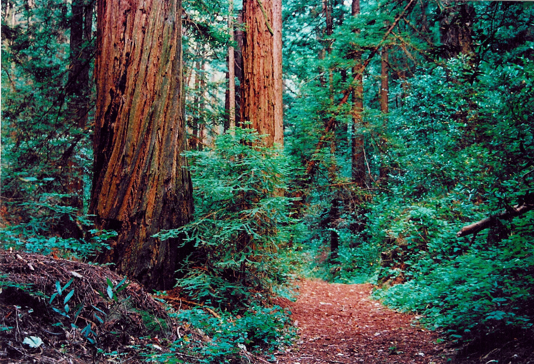 alicejanekubler_redwood forest - #gohikenapa