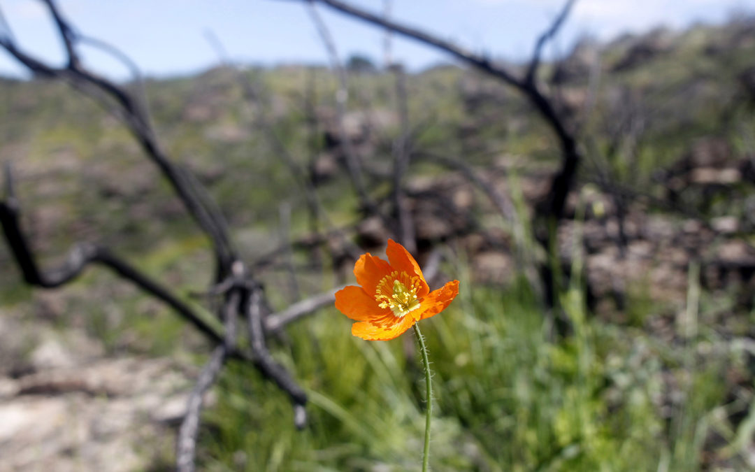 Land Trust discovers rare Fire Poppy amid Mt. George regrowth (photos and video)